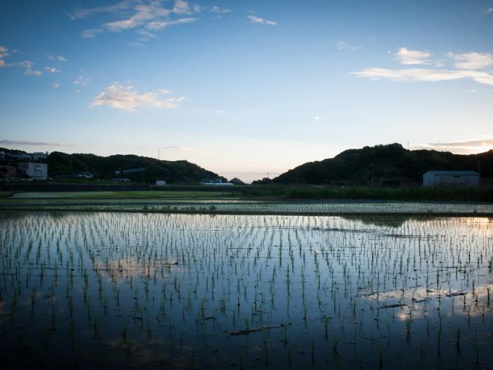 夕暮れの水田2